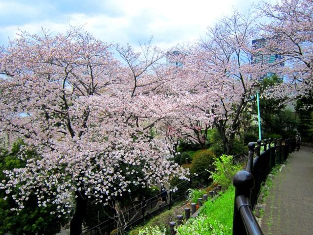 西郷山公園桜