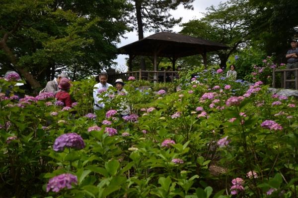 都内有数!多摩川公園のアジサイが見ごろです