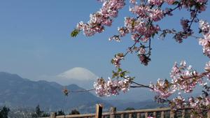 2016年 大井松田の河津桜