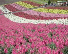 ②町田の小笠原さん_富良野の四季の丘では、パッチワークのような花のじゅうたんを見ることができました。