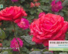 世田谷区 都立園芸高等学校「バラ園」 ほか 5/22~放送内容
