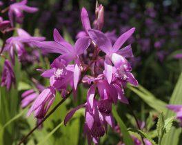 ③0512町田の小笠原さん紫色の可憐なラン。近くの公園で咲いていました。