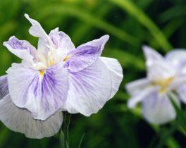 ①Elmguy 花菖蒲。梅雨時にはやはり花菖蒲に惹かれる。