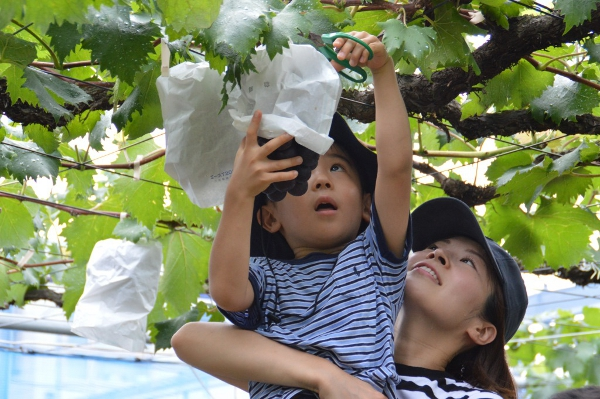 世田谷区でブドウもぎとり開園