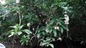 さがり花&マングローブの林 西表島にて