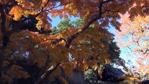 皇居乾通りの紅葉