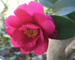 山茶花の花が咲きました_AI