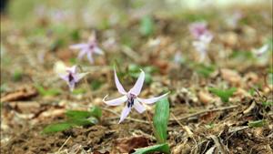 筑波山 カタクリの花を見に