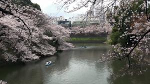 桜の名所千鳥ヶ淵周辺と六義園