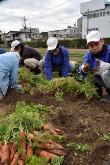 人参を収穫する様子 (2)