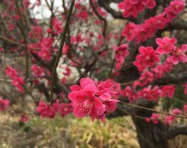紅梅が鮮やかに咲きました_Hitomi