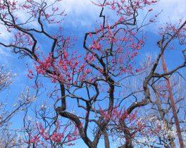青空をバックに羽根木公園の紅梅_町田の86歳
