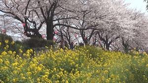権現堂・古河・太平山の花めぐり