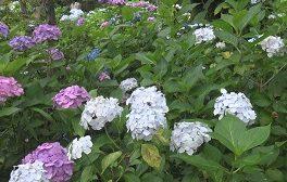 「多摩川台公園のあじさい」など視聴者の皆様からの映像をお伝えします。6/29(月)~放送内容