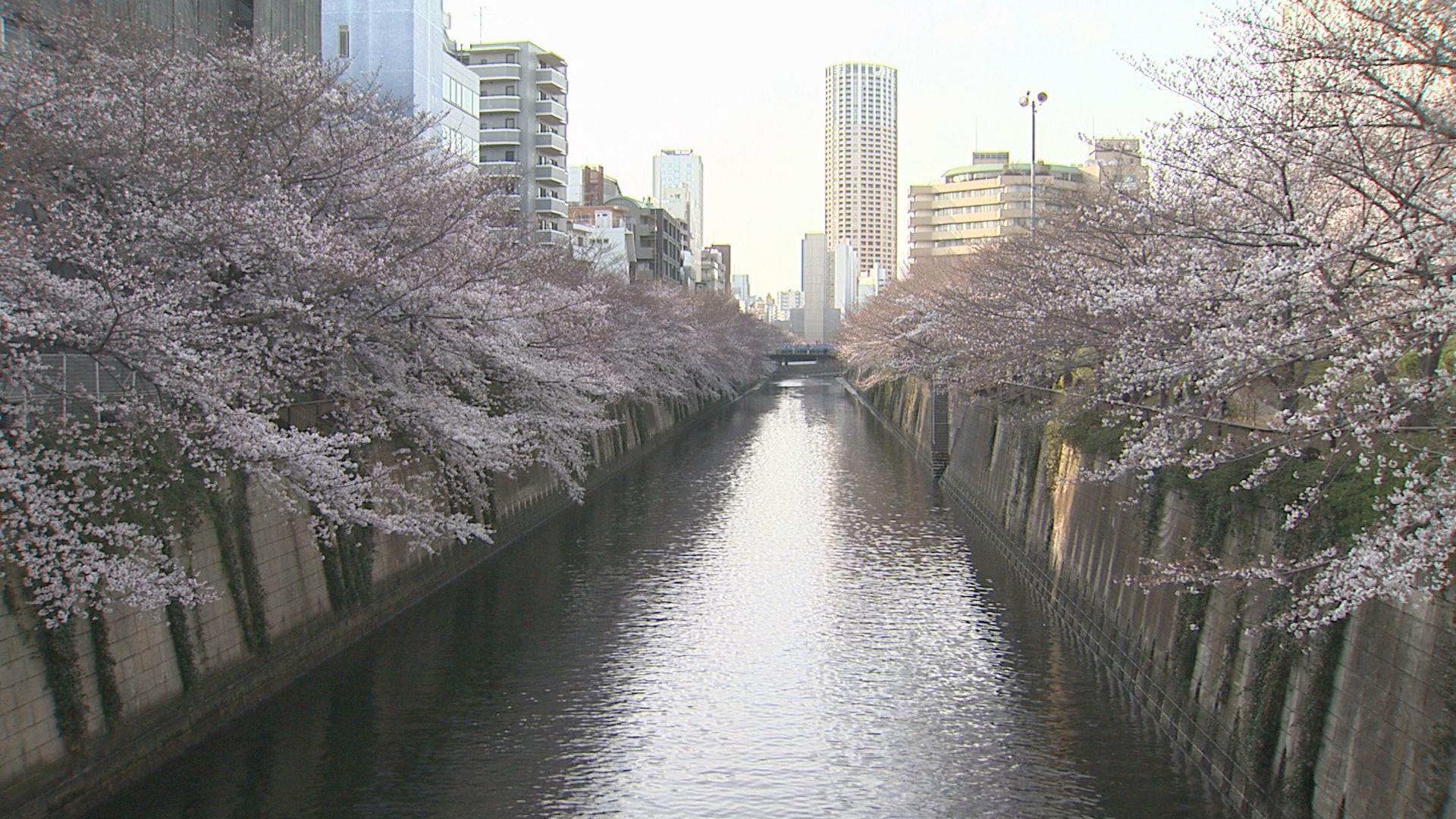 都内の桜の開花状況について