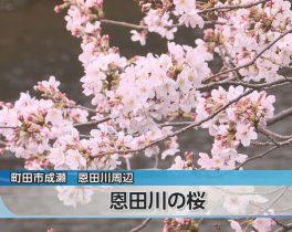 恩田川の桜 見頃ほか3/25放送内容(11ch)