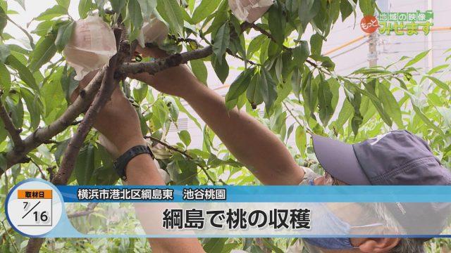 綱島で桃の収穫00000000