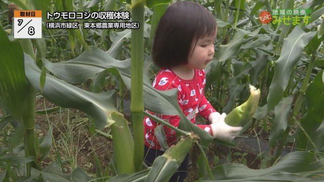 トウモロコシの収穫体験100000000