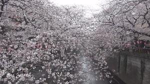 満開の桜(目黒川)