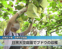 目黒天空庭園でブドウの収穫ほか9/25放送内容(11ch)