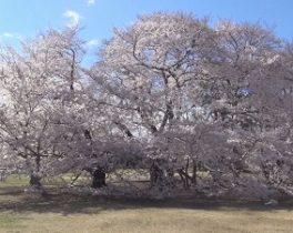 【11/23~放送内容】「砧公園の桜」など投稿映像をお届け!