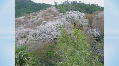 吉野千本桜と修験道