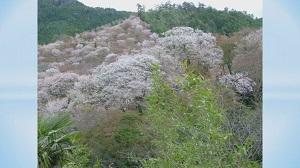 吉野千本桜と修験道(前編)